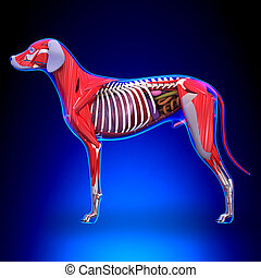 Dog Internal Organs Anatomy - Anatomy of a Male Dog Internal...