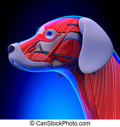 Dog Muscles Anatomy - Anatomy of a Male Dog Muscles