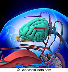perro, cerebro, anatomía, -, anatomía, de, Un,...