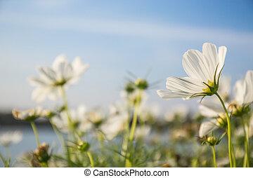 C.sulphureus Cav. or Sulfur Cosmos, flower and blue sky
