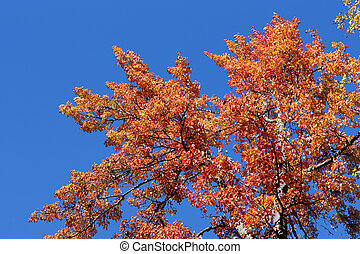 Red maple leaves against blue sky - Beautiful red maple...