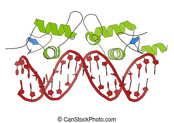 Glucocorticoid receptor, DNA binding domain bound to a DNA...