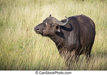 Cape Buffalo - A large Cape Buffalo of Southern Africa