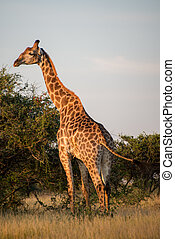 Sunset Giraffe - A giraffe soaking up the evening sun