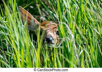 Peekaboo Deer