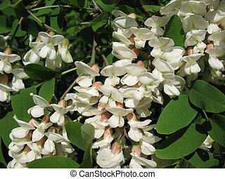 blanco,  Acacia,  (robinia, Plano de fondo,  pseudoacacia)