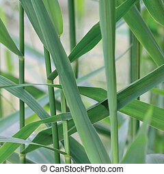 Common Reed Phragmites Leaf, Australis Cav. P. Communis...