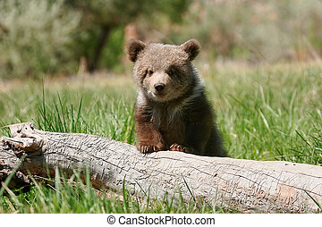 Grizzly bear cub sitting on the log - Grizzly bear cub Ursus...