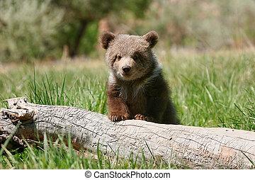Siwy, Niedźwiedź, szczeniak, posiedzenie, Na, przedimek...
