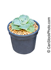 Succulent potted plant isolated on white.