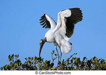 Wood stork spreading wings - Wood stork (Mycteria americana)...