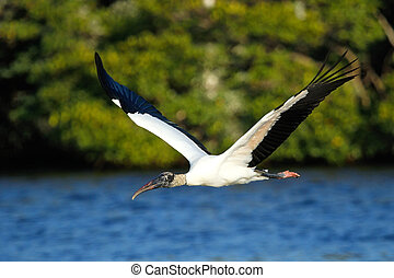 Wood stork flying low above water - Wood stork Mycteria...