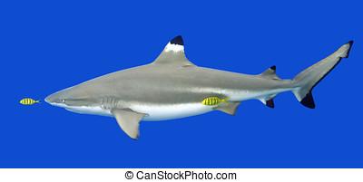 サメ,  fish,  blacktip, 黄色, 砂洲, パイロット