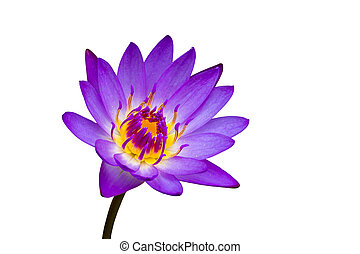 Purple waterlily isolated on white