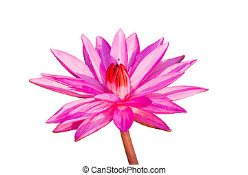 Pink waterlily isolated on white