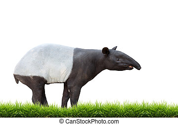 Malayo,  tapir, asiático, aislado, o