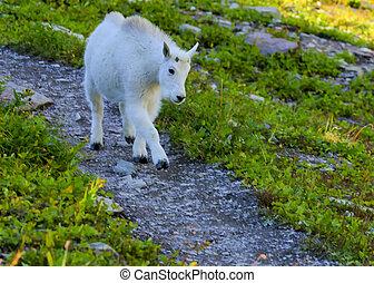 Kid Mountain Goat in Glacier National Park - Kid Mountain...