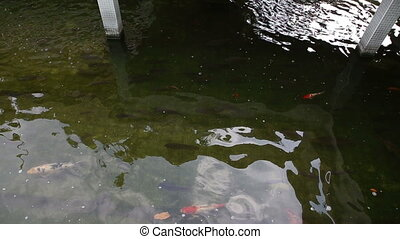 colourful large and small fish swim in pool