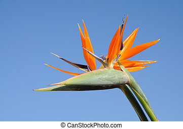 Strelitzia Flower against blue sky