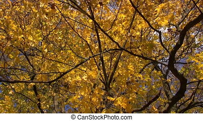 big autumn golden maple tree in park