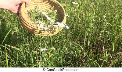 flower Achilea common yarrow - herbalist harvesting pick...