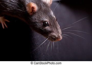 rat - a rat searching for food. Close-up shot.