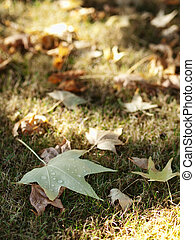 Autumn leaves - Bed of autumn leaves with selective focus on...