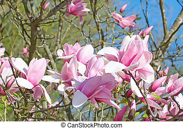 magnolia - Magnificent magnolia flowers in the spring garden