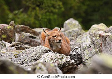 Male Eurasian Lynx lurking in the clearing - Portrait of...