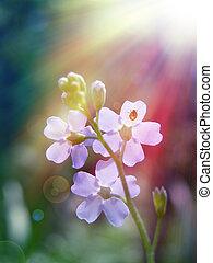 Forgot me not flower under sun - Forgot me not flower under...