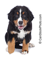 Cute bernese mountain dog puppy isolated