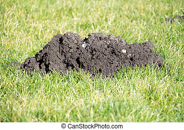 Mole Hills in the garden lawn - Mole hills can be...