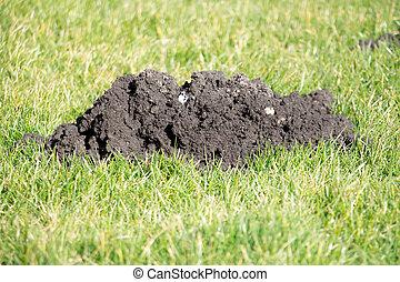 Mole Hills in the garden lawn