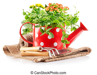 Spring flowers green leaves in watering can garden tools