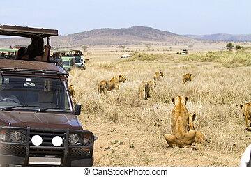 Tierwelt, spiel, fahren,  safari, Touristen