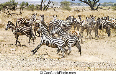 Two zebras fighting at the plains of Serengeti - African...