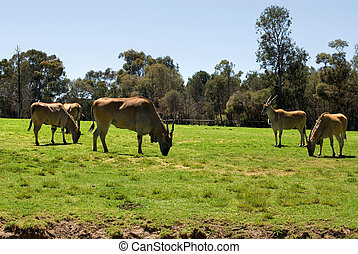 Common Eland grazing in a grassed area of an Australian Zoo