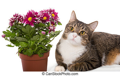 Grey cat and a bouquet of chrysanthemums, isolated on white