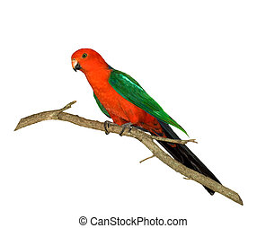 red headed king parrot Alisterus scapularis australian...