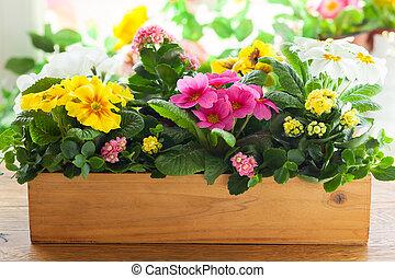 Primula in flower pot - Fresh colorful primula in wooden...