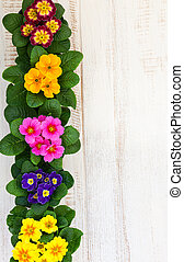 Assorted colorful primula - Fresh colorful primula flowers...
