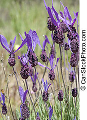 Spanish lavender, Lavandula stoechas - Flowers of Spanish...