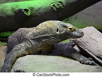 Komodo Dragon - A komodo dragon
