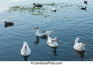 flock of waterbirds on lake surface