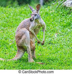 canguru,