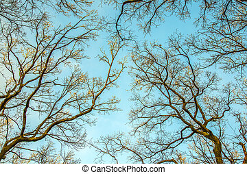 Silhouettes of oak trees against the sky