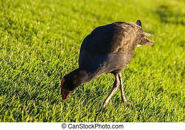 Pukeko pecking grass