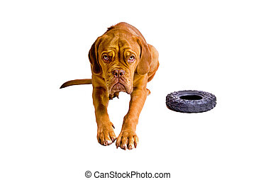 French Mastiff Puppy - Young Female Dogue De Bordeaux Puppy...
