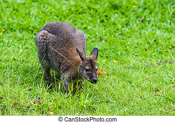 Bennet's, wallaby, -, Red, kangaroo