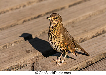 Song Thrush standing on wooden boards